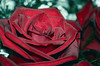Rose from the bouquet (ErrorByPixel) Tags: color 10028 pentaxart errorbypixel k5 pentax pentaxk5 flora rose bouquet flower nature red smc pentaxd fa macro 100mm f28 wr smcpentaxdfamacro100mmf28wr