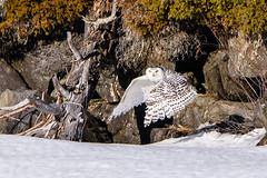 DSC_4138 (Pixelpics1) Tags: snowyowl bird owl