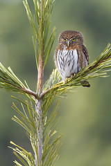 Northern Pygmy-Owl (thomasbarbin) Tags: glaucidium gnoma northern pygmy owl pygmyowl owls bird raptor raptors birds birding birdofprey birdsofprey wildlife photography animal nature vancouver island british columbia bc canada canon 7d