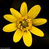 Ficaire (Maxime BEAUJEON) Tags: fleur jaune ficaire ficaria verne macro 105mm sigma