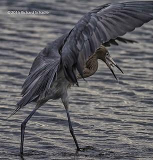 Reddish Egret with prey_1_wm