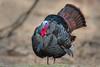 Wild Turkey (PhillymanPete) Tags: wildlife wildturkey nature bird palmyracovenaturepark newjersey tomturkey display gobbler turkey breedingcoloration palmyra unitedstates us nikon d800e