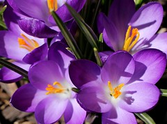 Happy Spring! (anneescott) Tags: spring flowers purple crocus happy happyspring