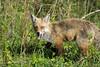 Red Fox (Jim McCree) Tags: redfox smyrnadelaware bombayhooknwr