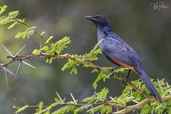Red-winged starling (V I J U) Tags: 2016 africa kenya lakenaivasha nature travel vijujose wildlife safari karagita nakuru ke redwingedstarling starling ef500mmf4lisii canon5dmarkiii