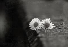 * (MargoLuc) Tags: two daisies spring flowers bokeh monochrome bw white