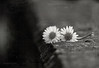 * (MargoLuc) Tags: two daisies spring flowers bokeh monochrome bw white