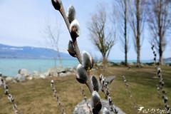 Éclosion 2 (jean-daniel david) Tags: lac lacdeneuchâtel ciel paysage nature arbre pelouse bourgeon chaton branche éclosion yverdonlesbains closeup suisse suisseromande