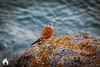 Encounter-bay-9150.jpg (Duncan Grant Designs) Tags: night kestrel bird ocean encounterbay fleurieupeninsula nature water nankeenkestrel birdofprey landscape sunset evening southaustralia sea