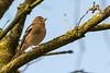 Keep (Fringilla montifringilla) (Hans de Cortie) Tags: vessem noordbrabant nederland nl bird keep fringillamontifringilla