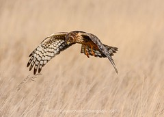 The Hunt (CindyFullwiler Nature Photography) Tags: harrier northern raptor birds prey hunters hawks