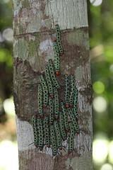 Arsenura sp (alrcardoso) Tags: caterpillar lepidoptera insect moth lagarta head horns horn chifre chifres arsenura aposematic gregarious caterpillars saturniid