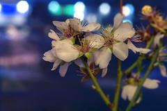_DSC7413 (JuanCarlossony) Tags: árbol luces bokeh sony 50mm slta58 almendro
