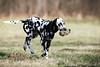 Dummyapport (blumenbiene) Tags: hund dog hunde dogs hündin female dalmatiner dalmatian schwarz weis black white winter fun spas spielen play dummy apportieren apport