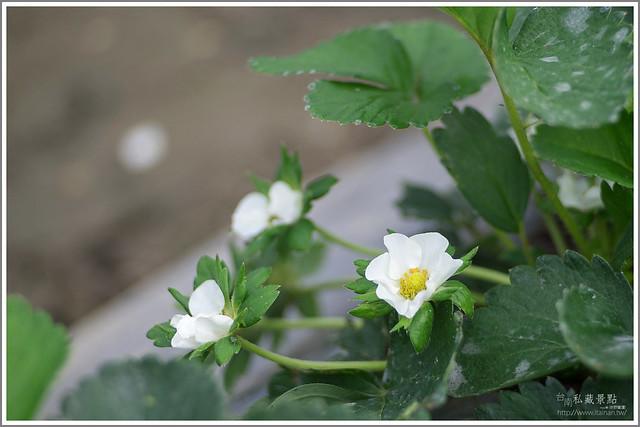 善化草莓 來去晴空農場找無農藥栽種的草莓 (8)