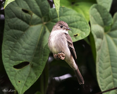 Eastern Wood-Pewee (Contopus virens) (Frank Shufelt) Tags: tyrannidae flycatchers passeriformes songbirds aves birds wildlife nature mountains andes mocoa putumayo colombia southamerica february2018 20180210 4853 easternwoodpewee contopusvirens