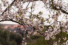 Mandorlo In fiore (vasapolliluca) Tags: sicilia italia it agrigento sicily templi tempio temples italy rovine mandorlo mandorle fiori almond tree
