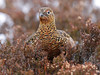 RED GROUSE ....Hen....Scotland....Click on Image for more detail.