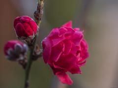 Peppermint Peach Blossoms - red (Phet Live) Tags: phet live panasonic dmcgx8 olympus m60mm f28