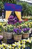 Spring Tide 2018 (Frances Maas) Tags: spring floweres tulips paris colour hamilton gagepark blooms daffodils springtime cafe garden greenhouse springahead