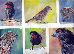 Martinique Rouge gorge (Jluc22fr) Tags: painting watercolor travel martinique rougegorge bird art westindies lesser antillean bullfinch sporophile antilles caraïbes oiseau animal