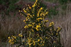 1454-09L (Lozarithm) Tags: arne rspb dorset k1 28105 hdpdfa28105mmf3556eddcwr flora gorse wildflowers