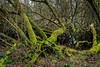 Mossy Tree (***tuttifrutti***) Tags: mossytree canon canon5dm3 canon5dmkiii canonlens canon2470mm canon2470mmmkii moss nature