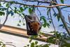 "Leipzig, Zoo, ""Insel-Flugfuchs"" (joergpeterjunk) Tags: leipzig zoo indoor tier säugetier inselflugfuchs latpteropushypomelanuscondorensis canoneos50d canonef70300mmf456isusm"