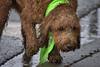 Wet Hair (Scott 97006) Tags: rain wet dog canine animal cute