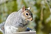 Some more Pecans Please! (ineedathis, Everyday I get up, it's a great day!) Tags: squirrel easterngraysquirrel eating pecans trough sciurustree sciuruscarolinensis animal critter nature winter furry garden nikond750 atlanticweepingcedar needles gray portrait male outdoor whiskers mammal