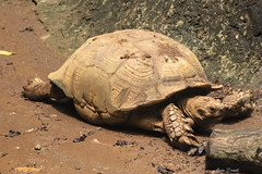 TARTARUGA GIGANTE    ----    GIANT TURTLE (Ezio Donati is ) Tags: natura nature animali animals rettili reptiles foresta forest africa costadavorio grandlahouarea