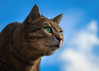 Wow, blue sky ! (FocusPocus Photography) Tags: katze cat chat gato tier animal haustier pet himmel sky sethi