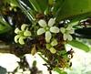 蘭嶼海桐 Pittosporum moluccanum   [墾丁恒春熱帶植物園  Hengchun Tropical Botanical Garden, Taiwan] (阿橋花譜 KHQ Flower Guide) Tags: pittosporum 海桐花科 pittosporaceae