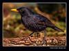 Mascle de merla 14 (Turdus merula) Male Blackbird (Motilla del Palancar, Conca Spain) (Rafel Ferrandis) Tags: mascle merla au motilla hide eos5dmkiv sigma150600contemporary lafotoceioche