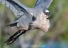 Great Blue Heron (DonMiller_ToGo) Tags: wildlife rookery outdoors nature onawalk birds greatblueheron birdwatching bif d810 venicerookery florida