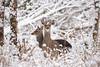 Sika deers (Karl Wild) Tags: sika deer ireland snow winter killarney nikon d4 200500vr