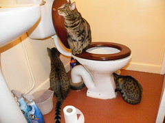 Checking it's clean enough! (rospix+) Tags: rospix 2018 march uk cat tabby tabbycat cats bathroom tribble william buddy