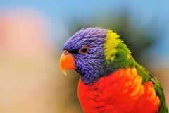 Beauty of the beast (peeteninge) Tags: smileonsaturday beautyofthebeast bird animal nature colorful vogel natuur kleurrijk kleurig fujifilmxt2 fujifilm lori xf80mmf28