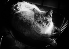 beauty in b&w (marinachi) Tags: cat bw smileonsaturday beautyofthebeast grey black white animal catmoments sundaylights