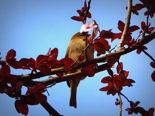 uccellino romano