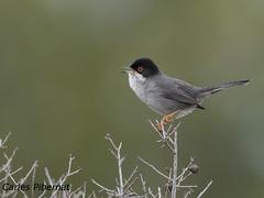 Tallarol capnegre, Curruca cabecinegra, Sardinian Warbler (Sylvia melanocephala ). Male (Carles Pibernat) Tags: