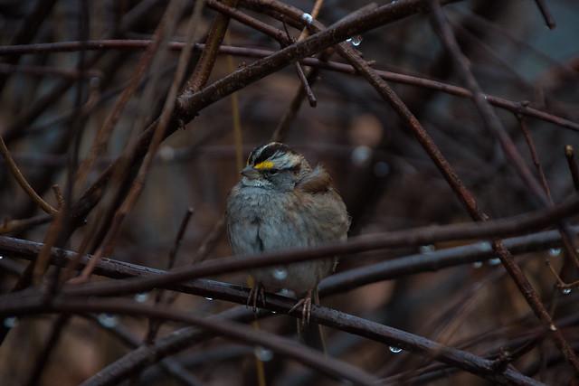 Central Bird