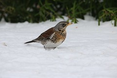 Fieldfare in snow (aaron19882010) Tags: berry bird eating hunting fieldfare field seeds worms nuts wildlife wild nature outdoors outside camera photo photograph photography capture south east england canon lens sigma