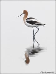Head Turner (pandatub) Tags: bird birds avocet americanavocet baylands paloalto reflection