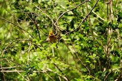 DSC07664.jpg (joe.spandrusyszyn) Tags: perchingbird orlando vertebrate nature animalkingdom animal songbird disneyworld byjoespandrusyszyn weaver passeri bird unitedstatesofamerica florida ploceuscastaneiceps ploceidae ploceus passeriformes tavetaweaver