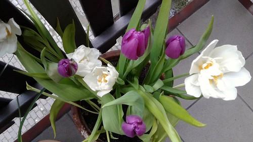 Fioletowy i biały