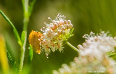 The amazing world of insects (Photosuze) Tags: insects bugs animals nature flowers flora buckwheat wildlife