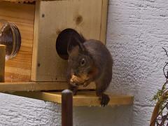 Lecker! / Yummy! (schreibtnix on 'n off) Tags: deutschland germany bergischgladbach tiere animals eichhörnchen squirrel sciurusvulgaris nahaufnahme closeup lecker yummy olympuse5 schreibtnix