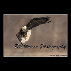 bald eagle turn (wildlifephotonj) Tags: baldeagle baldeagles eagle eagles raptor raptors wildlifephotography wildlife nature naturephotography wildlifephotos naturephotos natureprints birds bird