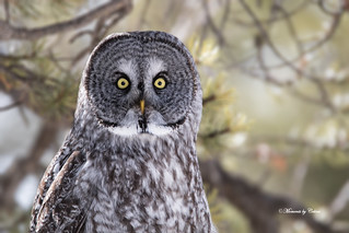 Look into my eyes (Strix nebulosa)